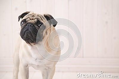 Perro de Puggy dentro de la casa