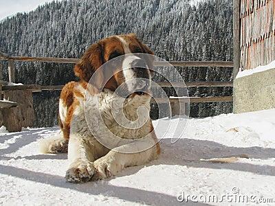 Perro de Saintbernard