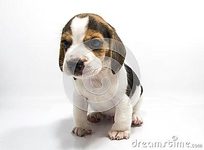 Perro del beagle del fondo blanco