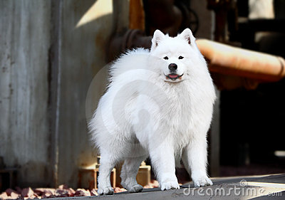 Perro del samoyedo