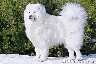 Perro del samoyedo - campeón de Rusia