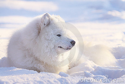 Perro del samoyedo en nieve