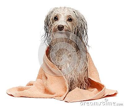 Perro havanese del chocolate mojado después del baño