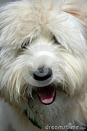 Perro lanudo