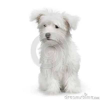 Good Shampoo For Maltese Dogs