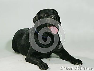 Perro pedigrí