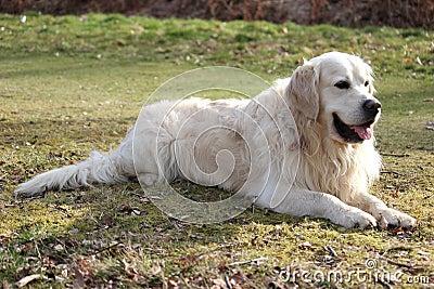 Perro perdiguero pálido que coloca