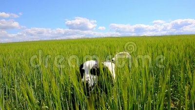 Perro que vaga a través de campo verde almacen de video