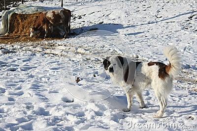 Perro y vaca