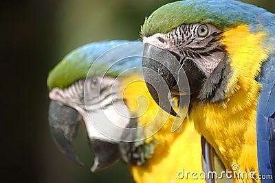 Perroquet de Mackaw