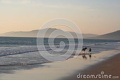 Perros que se ejecutan en la playa