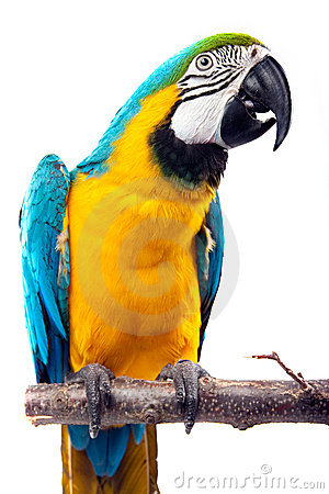 Free Perrot - Macaw Royalty Free Stock Photos - 9588568
