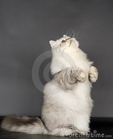 Free Persian Cat Stock Photos - 13944143