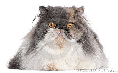 Persian cat, 18 months old