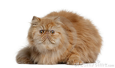 Persian cat, 2 years old