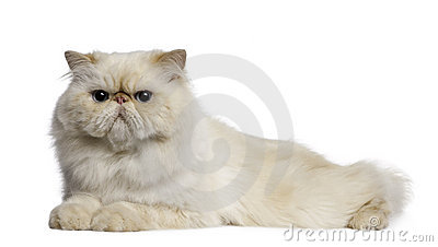 Persian Cat, 2 years old, lying