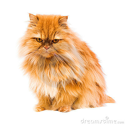 Free Persian Cat Royalty Free Stock Images - 23563259