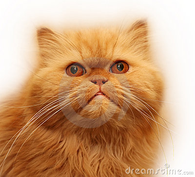 Free Persian Cat Stock Image - 2500371