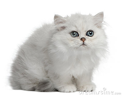 Persian cat, 3 months old, sitting