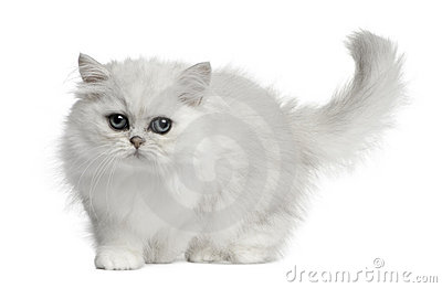Persian cat, 3 months old, walking