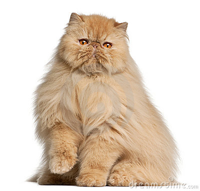 Persian cat, 3 years old