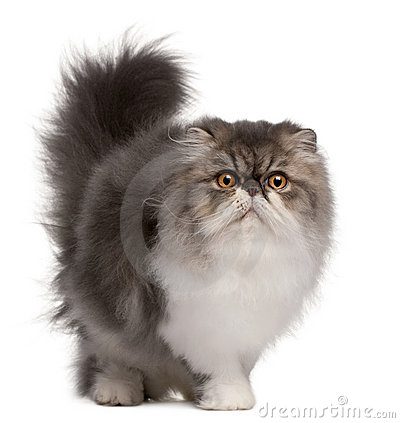 Free Persian Cat, 6 Months Old, Standing Royalty Free Stock Photo - 16822105