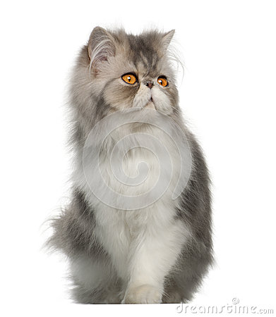 Persian cat, 7 months old