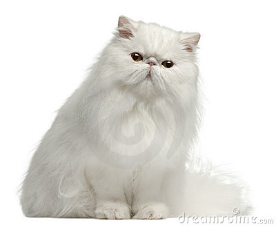 Persian cat, 8 months old, sitting