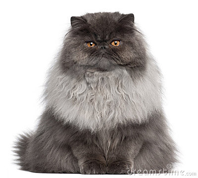 Free Persian Cat, 8 Months Old, Sitting Stock Photography - 18989882
