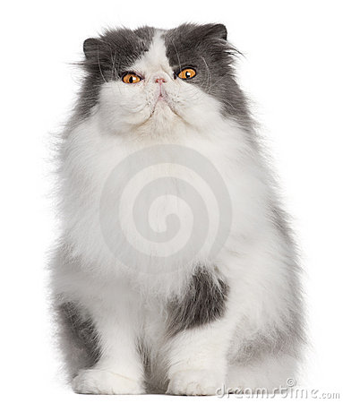 Persian cat, 9 years old, sitting