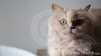 Persian cat. Close up persian cat stock video