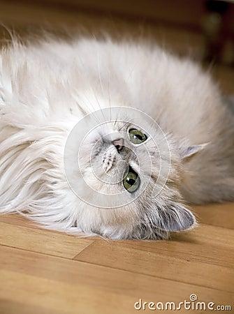 Persian cat lying