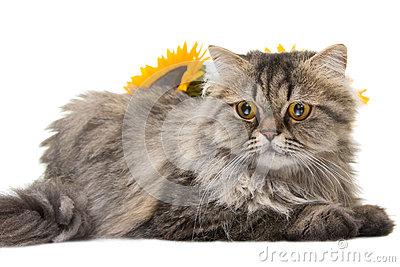 Persian cat lying with sunflowers