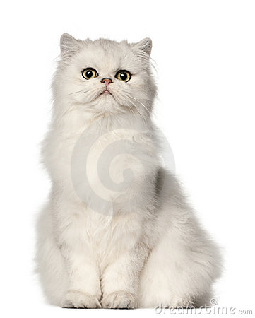 Free Persian Cat, Sitting In Front Of White Background Stock Images - 22629484