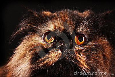 Persian cat in turtle colors