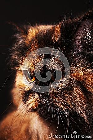 Persian cat in turtle colors