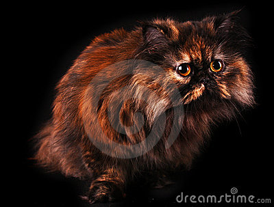 Persian cat in turtle colors on black