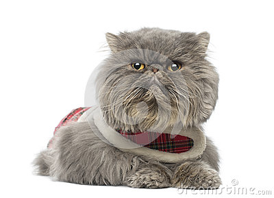 Persian cat wearing a tartan harness, lying, looking away