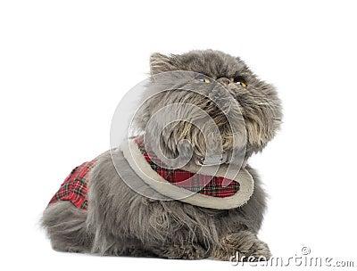Persian cat wearing a tartan harness, lying, looking up