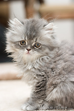 Free Persian Kitten Stock Photos - 123033