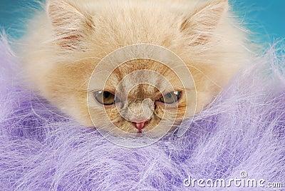 Persian kitten macro