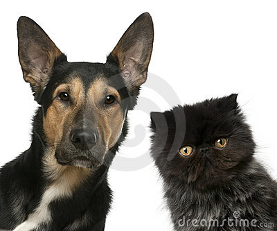 Persian kitten and a Mixed-breed dog in front of