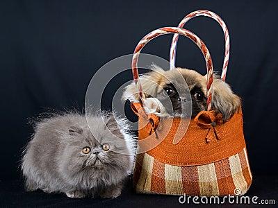 Persian kitten and Pekingese puppy