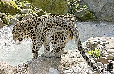 Persian Leopard 8