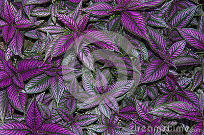 Persian Shield Leaves