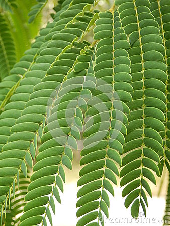 Persian Silk Tree leaves