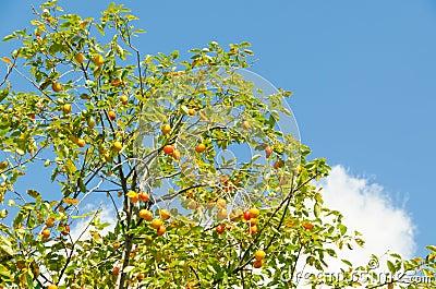 Persimmon fruit is ripe
