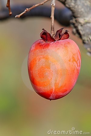 Persimmon fruit on the tree