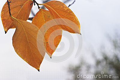 Persimmon leaves