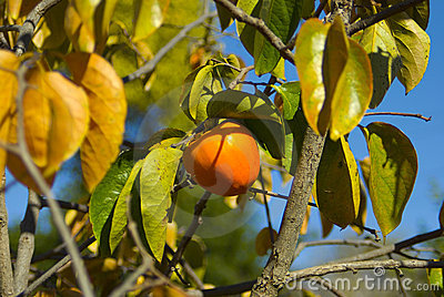 Persimmon on the tree